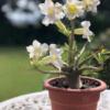 Rose du desert à fleur Blanche - Pot de 20cm