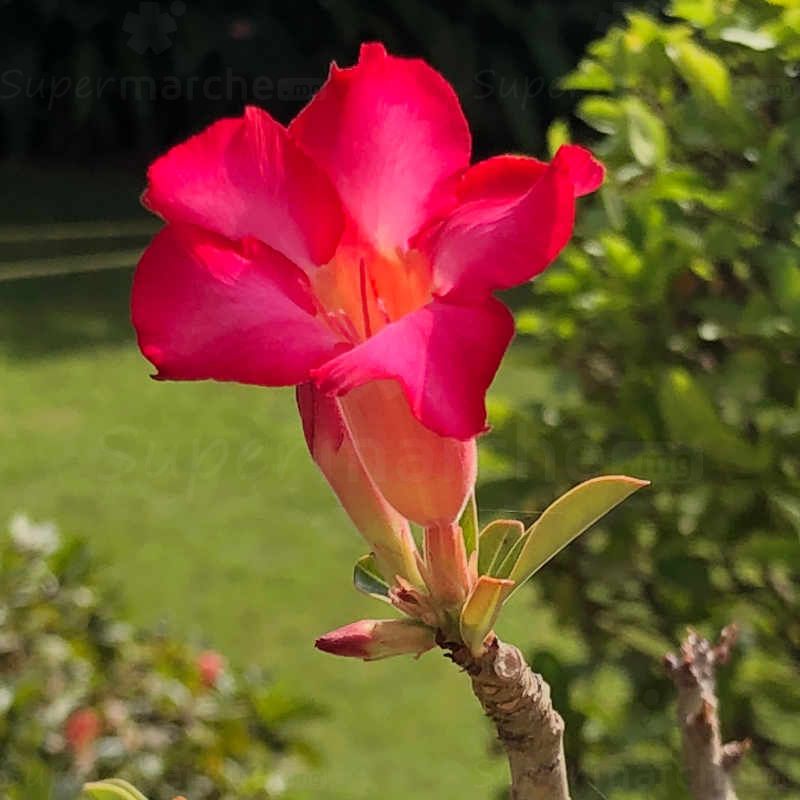 Rose du desert à fleur Rose – Pot de 20cm