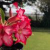 Rose du desert à fleur Rose - Pot de 20cm