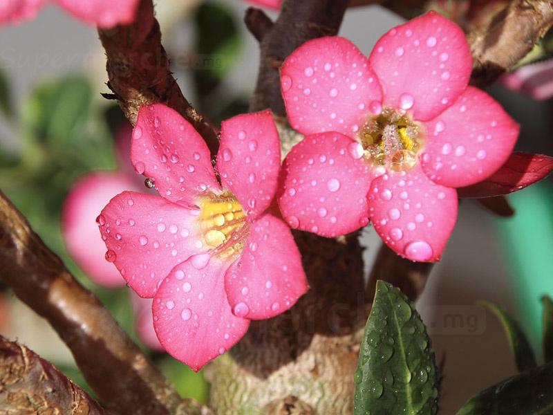 fleurs - rose du désert